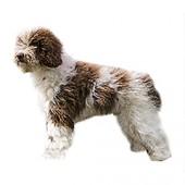 Photo of Spanish Water Dog