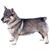 Photo of Swedish Vallhund