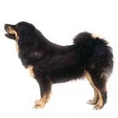 Photo of Tibetan Mastiff