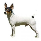 Photo of Toy Fox Terrier