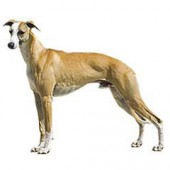 Photo of Whippet