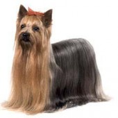 Photo of Yorkshire Terrier