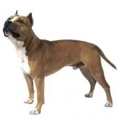 Photo of American Staffordshire Terrier American Foxhound Strains