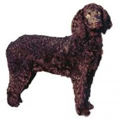 Photo of American Water Spaniel