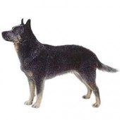 Photo of Australian Cattle Dog
