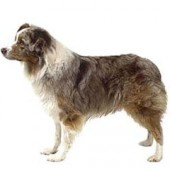 Photo of Australian Shepherd