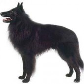 Photo of Belgian Sheepdog