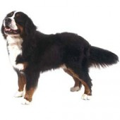 Photo of Bernese Mountain Dog