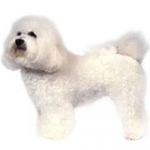 Photo of Bichon Frise