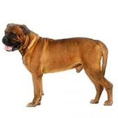 Photo of Bullmastiff