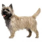 Photo of Cairn Terrier