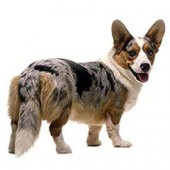 Photo of Cardigan Welsh Corgi