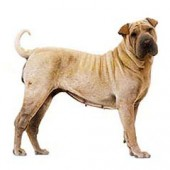 Photo of Chinese Shar Pei