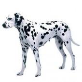 Photo of Dalmatian