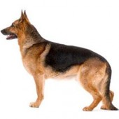Photo of German Shepherd Dog