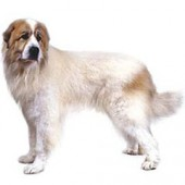 Photo of Great Pyrenees