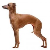 Photo of Italian Greyhound