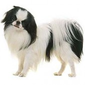 Photo of Japanese Chin