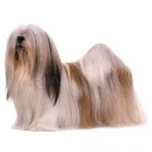 Photo of Lhasa Apso
