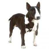 Photo of Miniature Bull Terrier