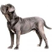 Photo of Neapolitan Mastiff