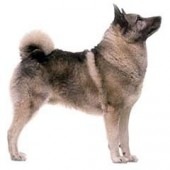Photo of Norwegian Elkhound
