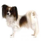 Photo of Papillon