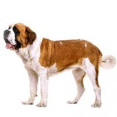 Photo of Saint Bernard