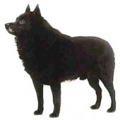 Photo of Schipperke
