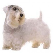 Photo of Sealyham Terrier