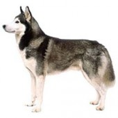 Photo of Siberian Husky