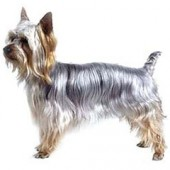Photo of Silky Terrier