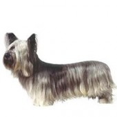 Photo of Skye Terrier