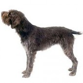 Photo of Wirehaired Pointing Griffon
