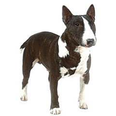 Photo of Miniature Bull Terrier
