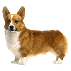 Photo of Pembroke Welsh Corgi