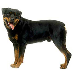 Photo of Rottweiler