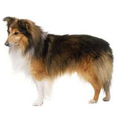 Photo of Shetland Sheepdog