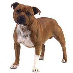 Photo of Staffordshire Bull Terrier