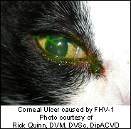 conjunctivitis_-_feline_herpes_viral-1