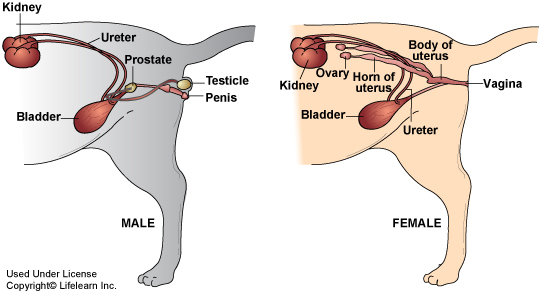 male_and_female_urogenital_system