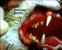 feline_immunodeficiency_virus_infection-2