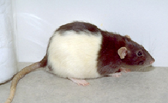 rodents-diseases-2