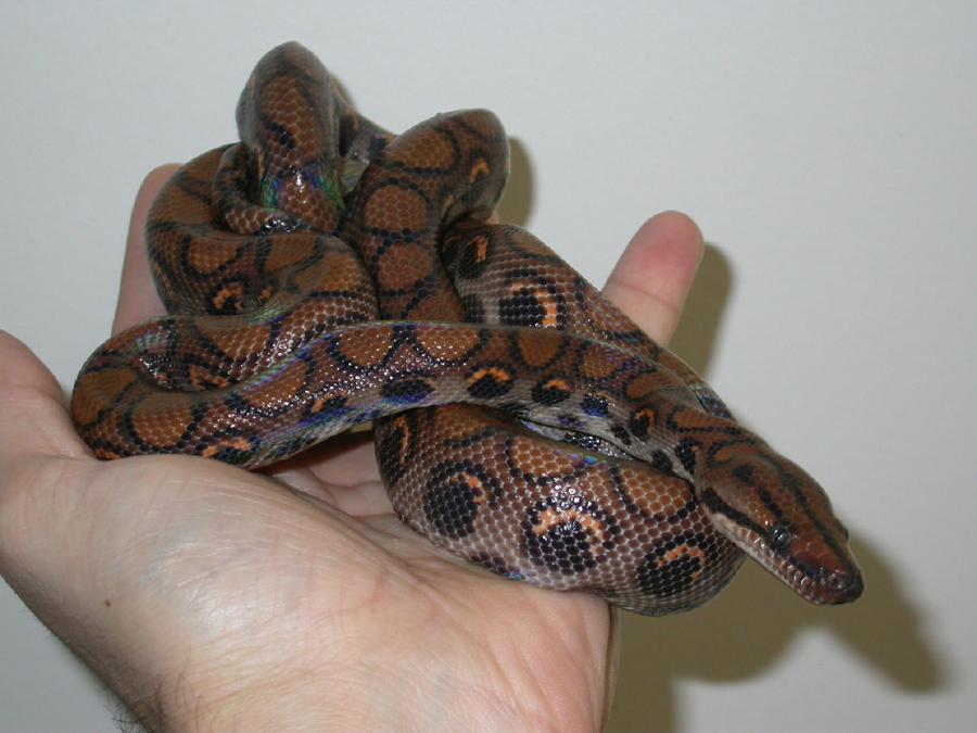 snakes-boas__pythons-1