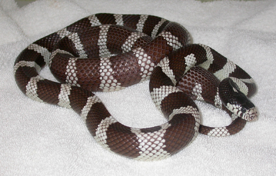 snakes-diseases-1