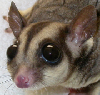 sugar_gliders-diseases-1