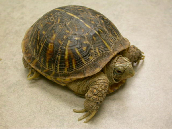Box turtles are omnivorous, which means that they eat both plant and ...