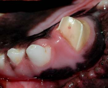 capping-teeth-dogs1
