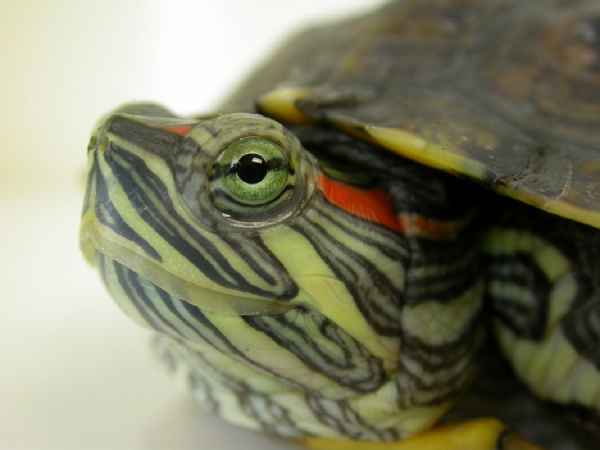 Aquatic turtles such as the red-eared slider have several unique ...