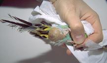 tumours_in_birds-1